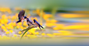 Barn Swallow. Feeds the baby in the lotus pond Stock Photo