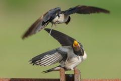 Barn Swallow Royalty Free Stock Photography