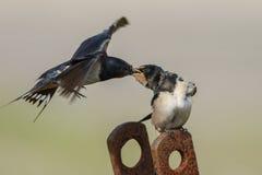 Barn Swallow Stock Image