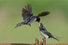 Barn Swallow. Feeds his youngster Royalty Free Stock Photos