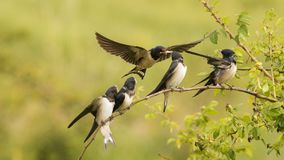 The barn swallow feeds one of its four nestling in flight Royalty Free Stock Photo