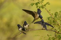 The barn swallow feeds one of its four nestling in flight Royalty Free Stock Photography