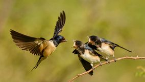 The barn swallow feeds one of its four nestling in flight Royalty Free Stock Photos