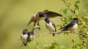The barn swallow feeds one of its four nestling in flight Royalty Free Stock Images