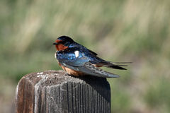 Barn swallow on fence post Stock Photography