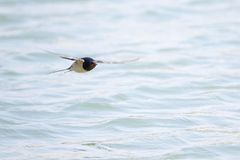 Barn swallow. A barn swallow is flying over river. Scientific name: Hirundo rustica Royalty Free Stock Photography
