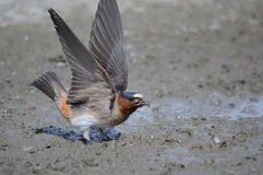 Barn swallow gathering mud Royalty Free Stock Photo