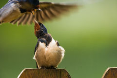 Barn swallow gets attacked. Barn swallow Hirundo rustica gets attacked Royalty Free Stock Image
