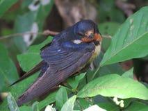 Barn Swallow-Golondrina Tijereta-Hirundo rustica (2) Stock Image