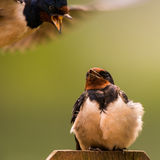 Barn swallow grts attacked. Barn swallow Hirundo rustica grts attacked Stock Photography