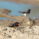 Barn Swallow, Hirundo rustica Royalty Free Stock Image