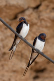 Barn Swallow (hirundo rustica) Stock Images