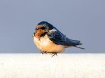 Barn Swallow - Hirundo Rustica, Adult Female. Stock Photos