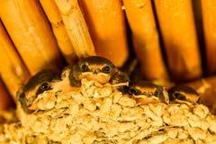 Barn Swallow Hirundo Rustica Andorinha-das-chamines royalty free stock image
