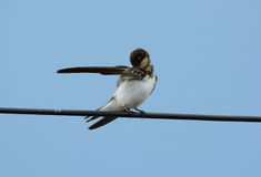 Barn Swallow (Hirundo rustica) Royalty Free Stock Images