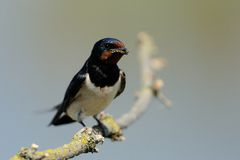 Barn Swallow (Hirundo Rustica). This swallow catched a bee Stock Images