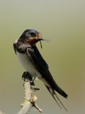 Barn Swallow (Hirundo Rustica). This swallow catched a dragonfly Royalty Free Stock Photos
