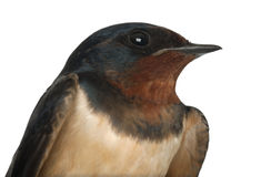 Barn Swallow, Hirundo rustica, close up Stock Images