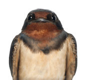 Barn Swallow, Hirundo rustica, close up royalty free stock photography