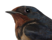 Barn Swallow, Hirundo rustica, close up royalty free stock image