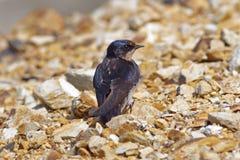 Barn Swallow Hirundo rustica Cute Birds of Thailand Stock Image