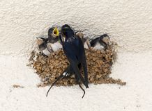 Barn Swallow (Hirundo rustica) Stock Photos