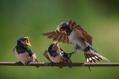 Barn swallow Hirundo rustica feeding her nestling in flight.  stock photo