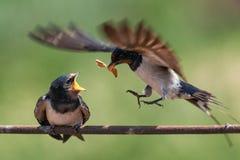 Barn swallow Hirundo rustica feeding her nestling in flight Stock Photos