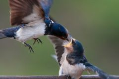 Barn swallow Hirundo rustica feeding her nestling in flight Stock Photography