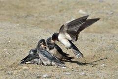 Barn Swallow (Hirundo rustica) Stock Image