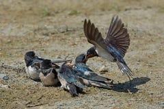Barn swallow (Hirundo rustica) royalty free stock image