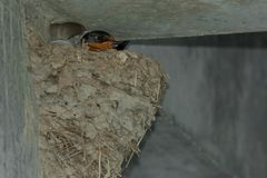 Barn Swallow - Hirundo rustica. Female Barn Swallow resting comfortably in her mud nest on a concrete wall. Tommy Thompson Park, Toronto, Ontario, Canada Royalty Free Stock Photos