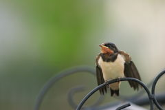 Barn Swallow Stock Images