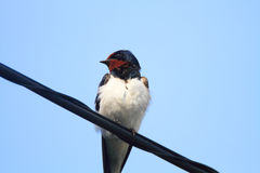 Barn Swallow Stock Photography