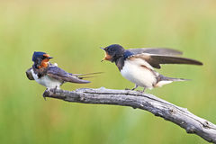 Barn Swallow (Hirundo rustica). Juvenile Barn Swallow asking his mom for food on a branch Stock Photos