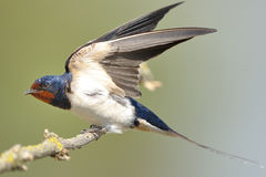 Barn swallow (Hirundo rustica). The barn swallow (Hirundo rustica) is the most widespread species of swallow in the world Royalty Free Stock Photography