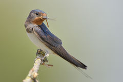 Barn swallow (Hirundo rustica). The barn swallow (Hirundo rustica) is the most widespread species of swallow in the world Stock Photo