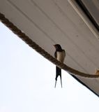 Barn swallow (Hirundo Rustica) perched on rope. On boat in Bucharest lake royalty free stock image