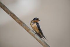 Barn swallow (Hirundo rustica) Royalty Free Stock Photo