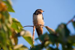 Barn swallow Hirundo rustica perching on a cherry tree branch. Barn swallow bird, Hirundo rustica perching on a cherry tree branch Stock Photo