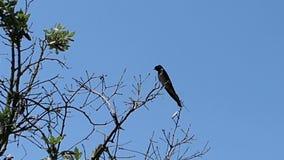 Barn swallow  Hirundo rustica resting on a twig in Albania.  stock footage