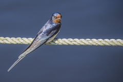 Barn swallow, hirundo rustica Stock Image