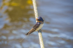Barn swallow, hirundo rustica Stock Images