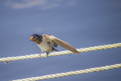 Barn swallow, hirundo rustica Royalty Free Stock Images