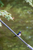 Barn Swallow (Hirundo rustica) Sitting on Steel Cable on Front of Water Stock Photos