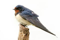 Barn swallow Hirundo rustica sitting on a stick on white background stock image