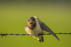 Barn Swallow Royalty Free Stock Photos