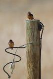Barn Swallow, Hirundo rustico Royalty Free Stock Photography