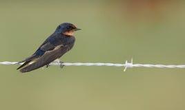 Barn Swallow (Hirundu rustica) Royalty Free Stock Image