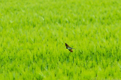 Barn Swallow hunting bugs in a rye field Stock Image